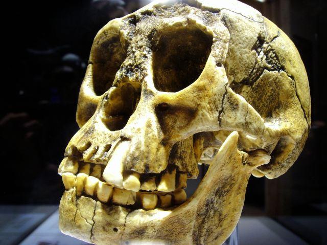Cranium and mandible cast of Homo floresiensis individual, LB1